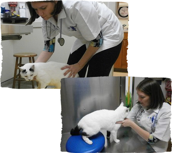 feline physical rehab by veterinarian at vet clinic